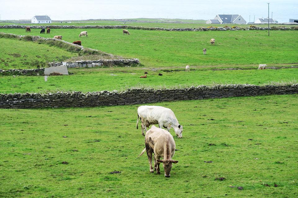 meadow cow ireland